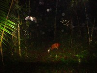 Red Brocket deer and bat